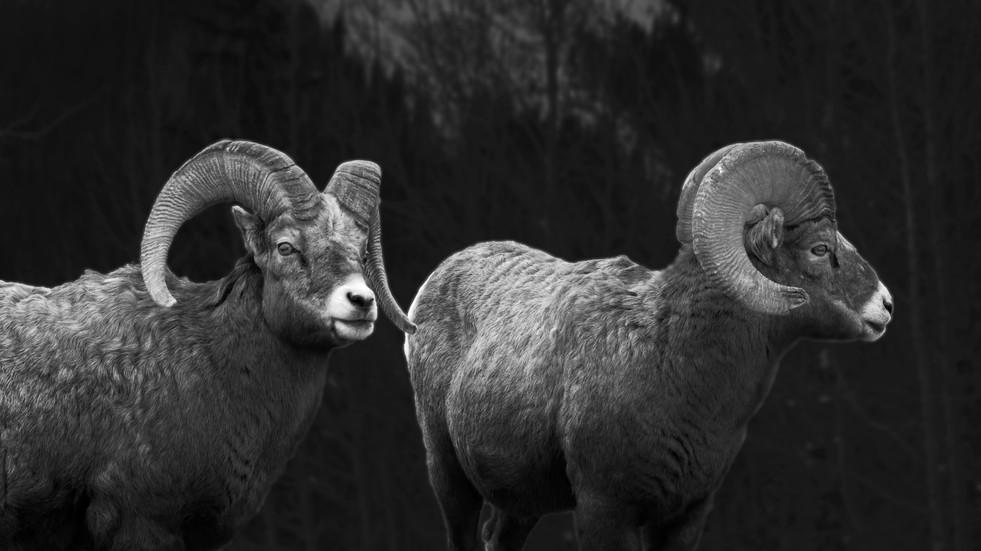 Mountain Sheep in K country.jpg