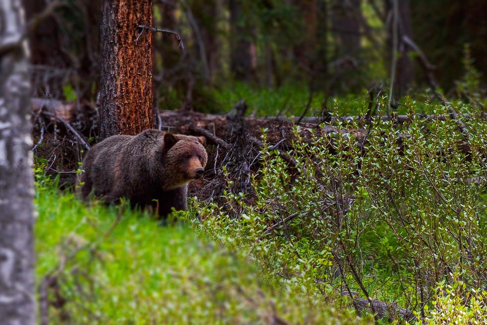 Grizzly Bear 1A.jpg