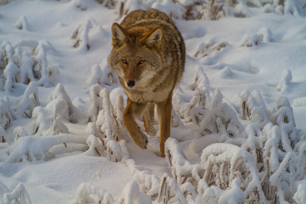 Dec 2017 Coyote 1.jpg
