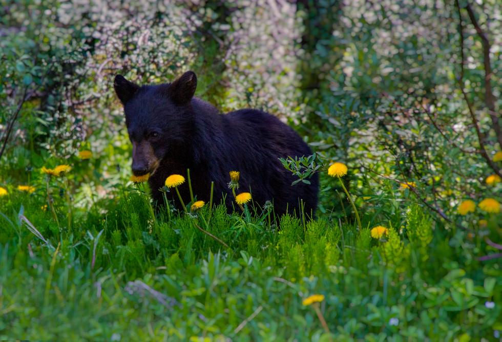 2017 June 1A Baby Bear 2.jpg