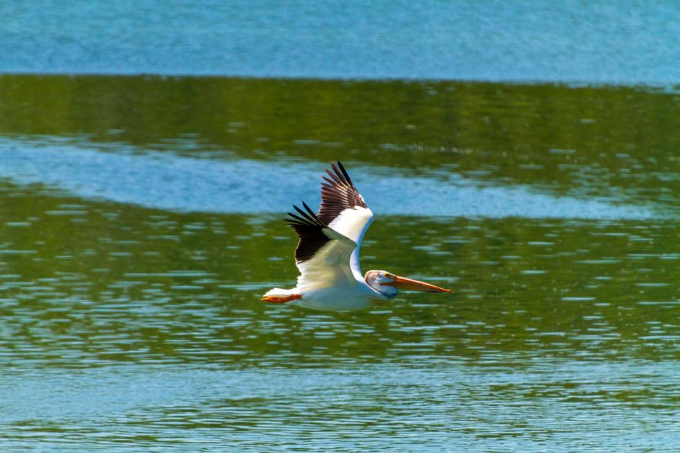 2017 July Pelican Flying.jpg