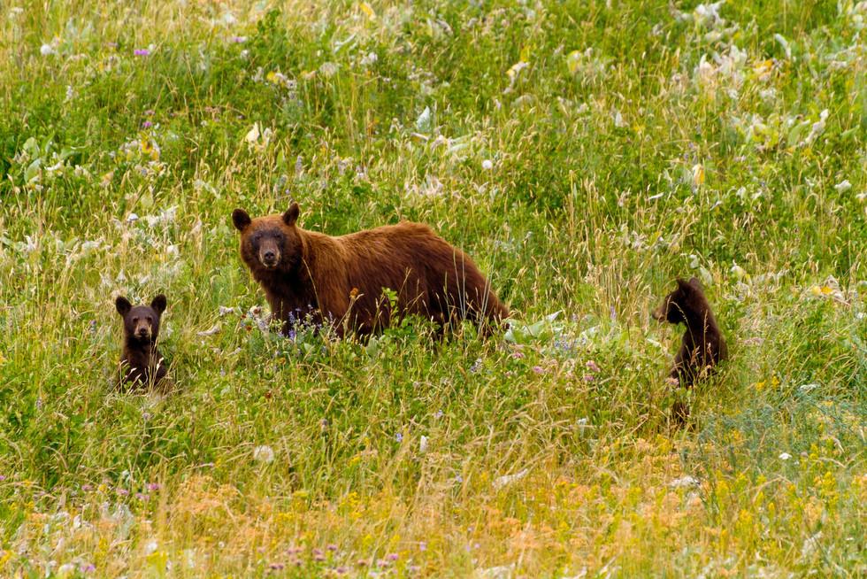 2017 July Waterton Mama Bear and 2 cubs.jpg