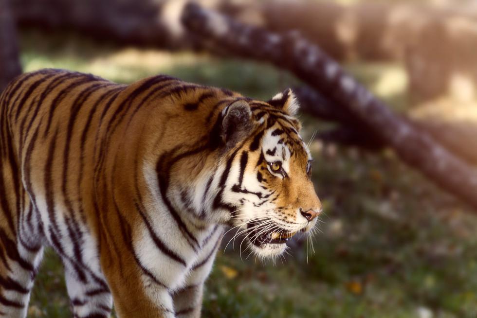 Zoo October 2017 Warm Tiger.jpg