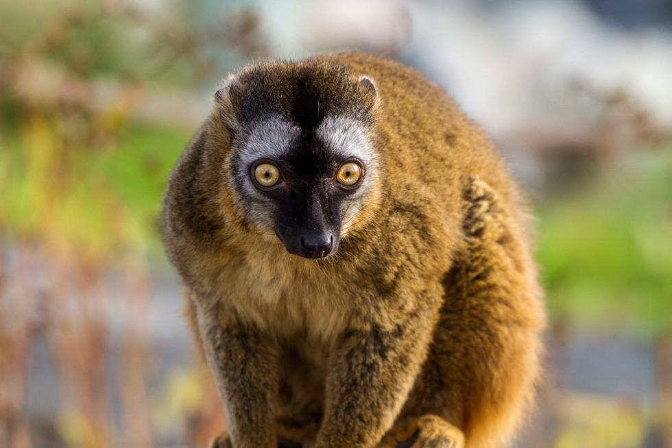 Zoo October 2017 Lemur 1.jpg