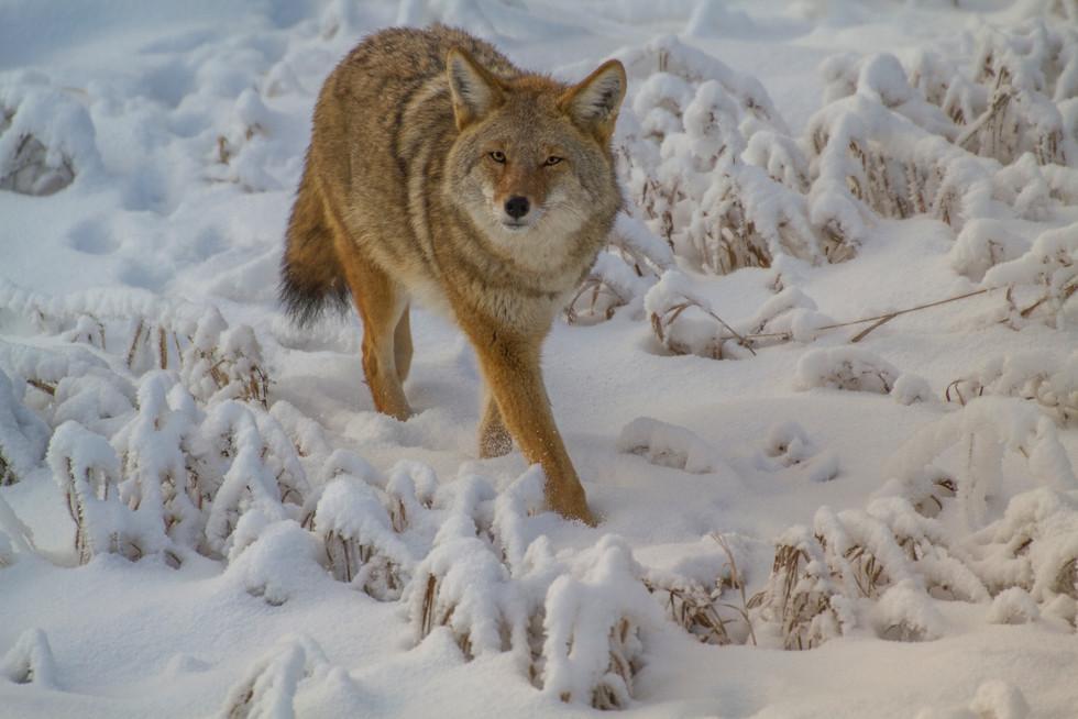 Dec 2017 Coyote 3.jpg