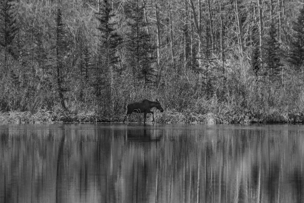 Moose BW.jpg