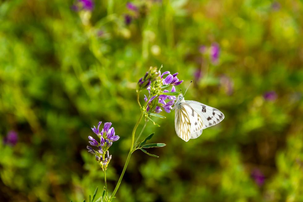 Aug 2017 Butterfly 3.jpg