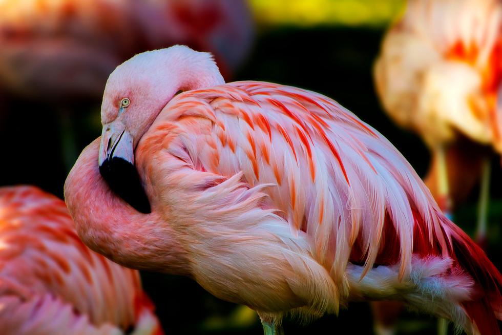 Zoo October 2017 Flamingo.jpg