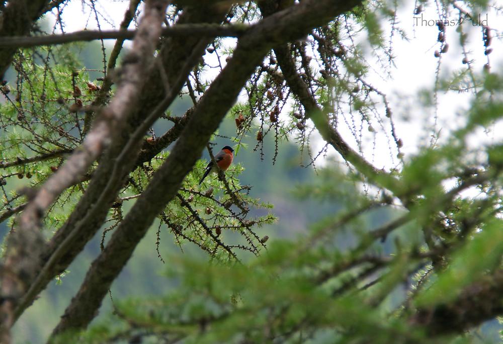 A bullfinch sitting in a larch tree