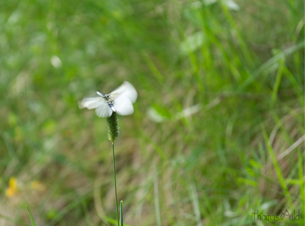 Blurry wings on two white butterflies