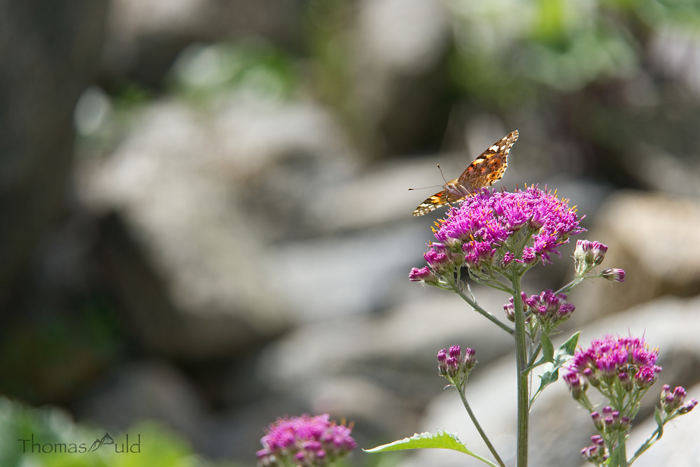 Painted lady butterfly at the Morteratsch Glacier.