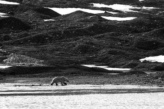 B&W Bear.jpg