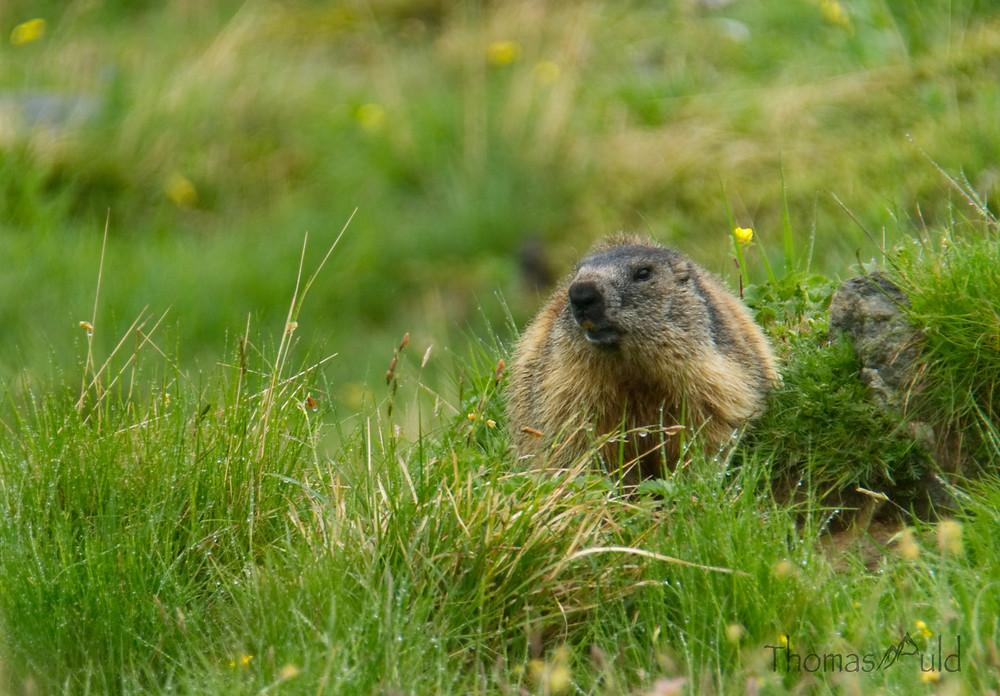 Alpine Marmot in Switzerland (Steve)