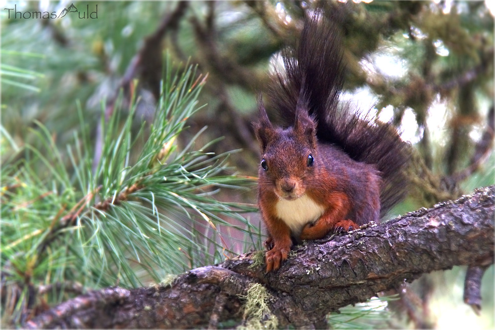 A red squirrel watching curiously