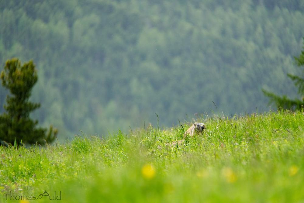 Alpine marmot in the grass