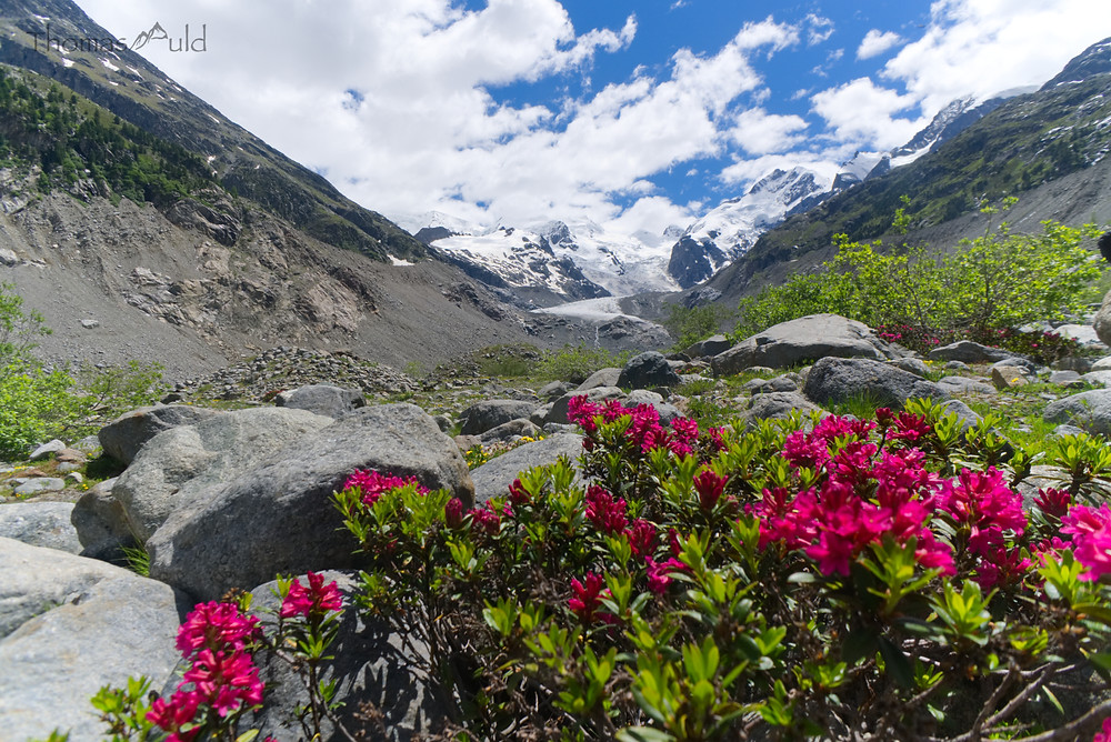Alpine rose, only growing in the alps, in front of Diavolezza