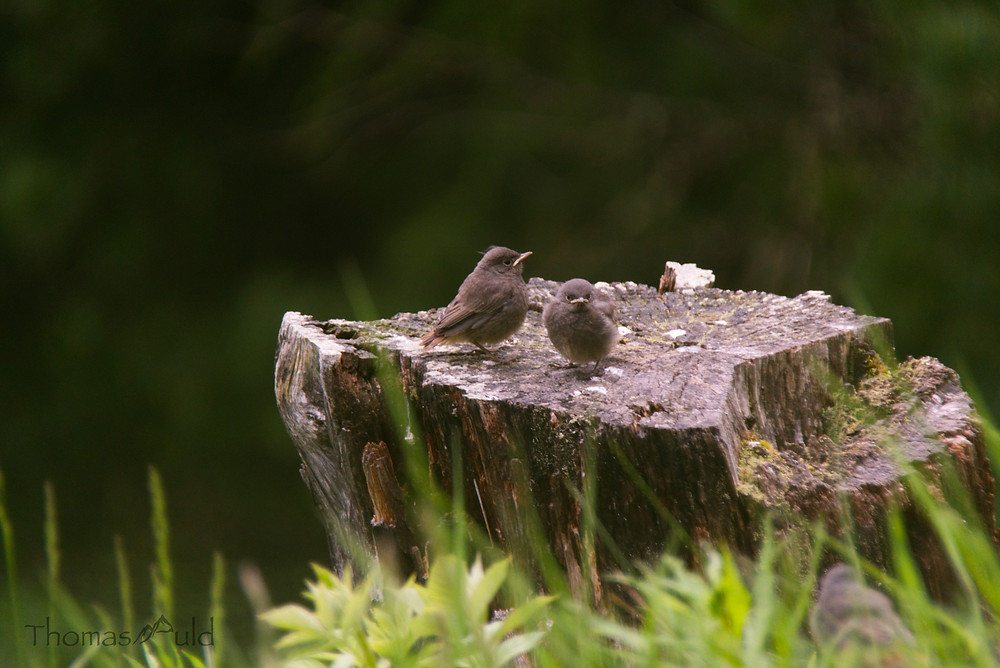 Two young black redstarts, wondering why their sibling is sitting so close to me