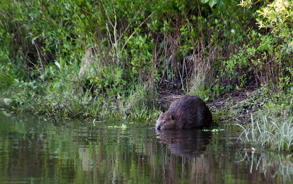 """Beaver"" by Erin Kohlenberg is licensed under CC BY 2.0"