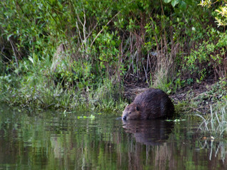 Beavers Will be in Cornwall!