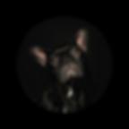 Hund Nyusha Französische Bulldogge