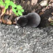 California Mole