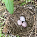 Spotted towhee nest