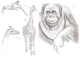Blackpool Zoo Orangutang and Giraffes 20