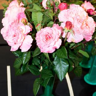 Spring Rose Show 2017
