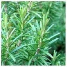 60ml Rosemary Olive Oil