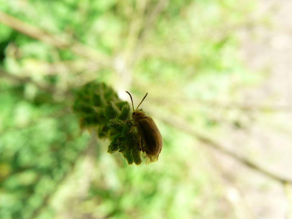 Ophraella communa; lotta biologica; studio Pegaso; piemonte; torino; allergia; ambrosia