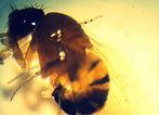Studio Pegaso; Piemonte; Drosophila suzukii; piccoli frutti; vite