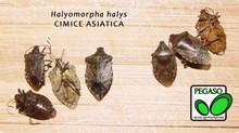La cimice asiatica. Dalle case alle piante ospiti (frutteti e vigneti)
