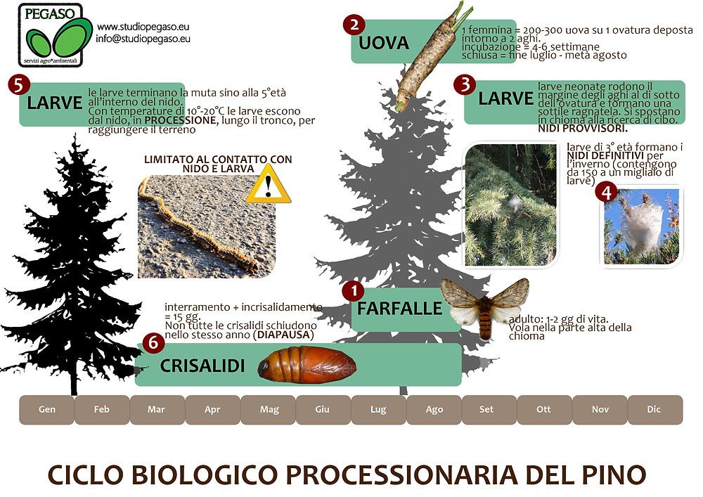 Ciclo Biologico Processionaria del Pino - Pegaso Servizi Agroambientali