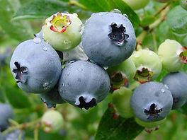 studio Pegaso, mirtillo, drosophila suzukii, drosofila, danno mirtillo, piccoli frutti