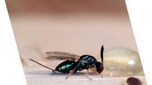 Castagne e insetti: il Torymus sinensis