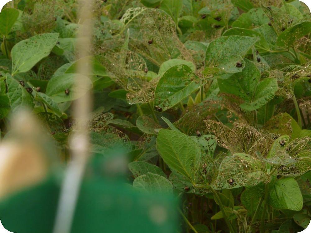 Pegaso servizi agroambientali torino; popillia japonica; parco ticino