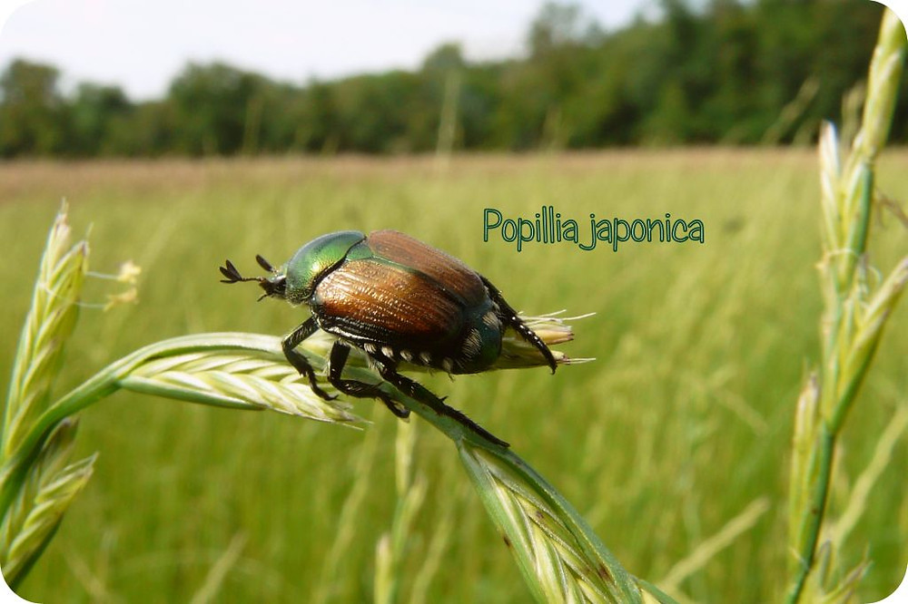 popillia japonica pegaso piemonte torino ticino