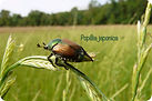 Pegaso Servizi Agroambientali; Italia; Torino; Piemonte; trappola popillia feromoni