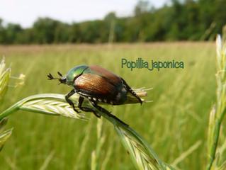 Popillia japonica, il coleottero invadente
