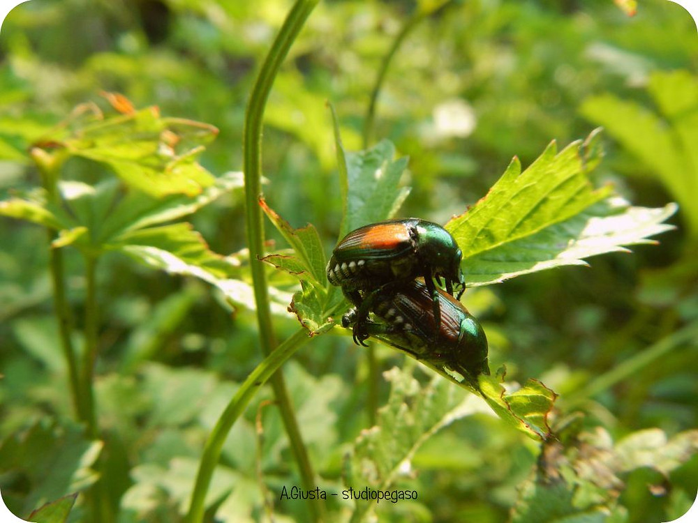 Pegaso Servizi Agroambientali; Torino; Popillia japonica; japanese beetle; feromoni; cilclo biologico; Piemonte; Italia