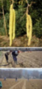 studio pegaso servizi agroambientali, nocciolo, impianti corilicoli, progettazione impianti corilicoli, direzione lavori impianti corilicoli, consulenza corilicoltura