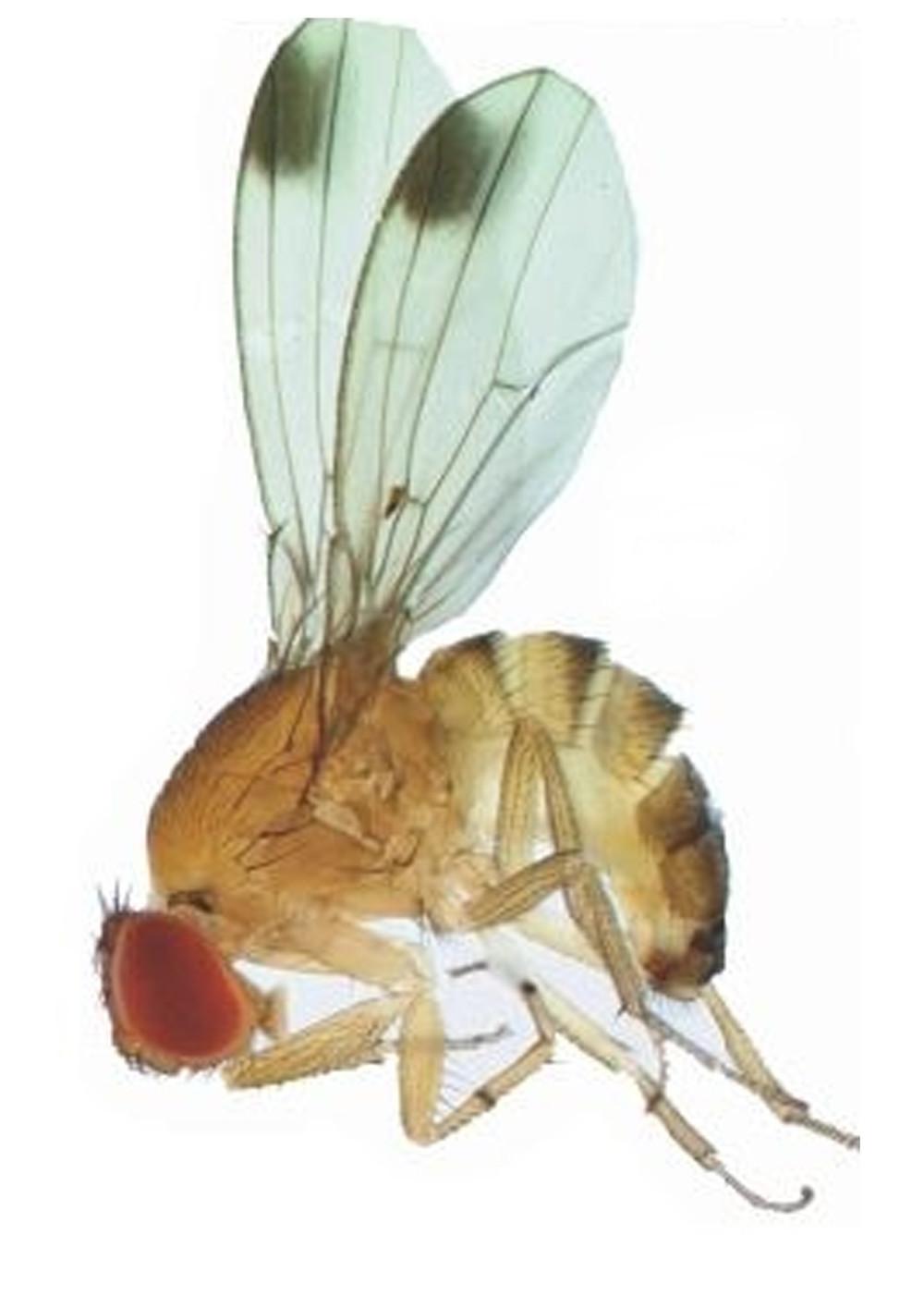 Drosophila suzukii, moscerino dalle ali macchiate