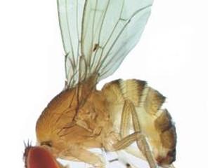 La Drosophila ha fatto l'uovo...