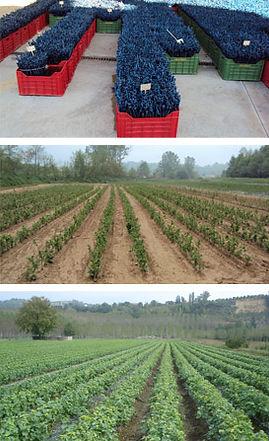 studio pegaso servizi agroambientali, controllo produzioni vivaistiche, scelta materiale impianto, vigneto, noccioleto