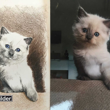 Bild und Foto einer kleinen Birma Katze