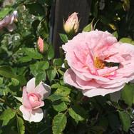 Rosenkäfer in den Blüten