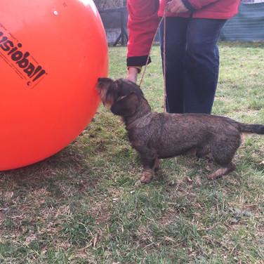 Kleiner Hund mit grossem Ball