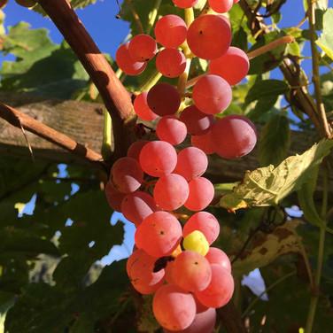Traubensorte