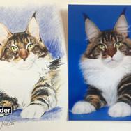 Bild und Foto einer Man-Coon Katze