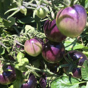 Violette-Tomaten